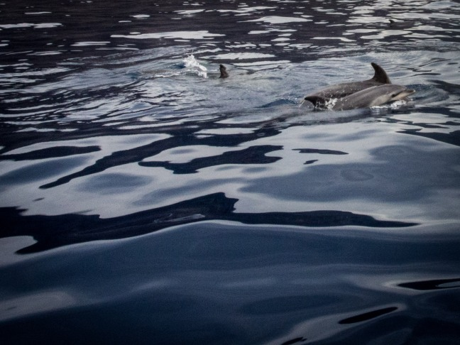 Dolphins on the way from Masca to Los Gigantes