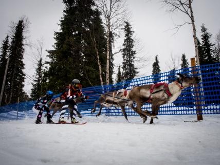 Tankavaara reindeer competion